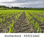 Young Crops Isolated