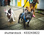 Stock photo french bulldog take a walk lovely pet animal concept 433243822