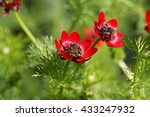Small photo of Flower summer pheasants eye (Adonis aestivalis), a medical plant in Europe.