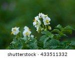 Flowering Bush Potatoes On A...