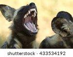 An African Wild Dog Displaying...
