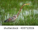 purple heron  ardea purpurea... | Shutterstock . vector #433712026