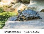 Two Striped Kinosternon Turtle...