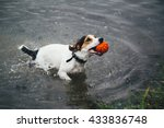 Stock photo a small breed dog jack russell terrier plays with a bright ball in the river 433836748