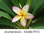 beautiful sweet yellow pink and ... | Shutterstock . vector #433867972