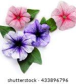Flower Petunia