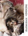 Stock photo cat and kitten hugs 43404346