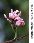 holarrhena pubescens  ex g. don ...