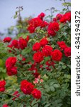 Stock photo detail of roses bush as floral background 434194372