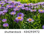 The Alpine Aster  Aster Alpinu...