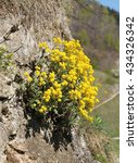 Small photo of bunch od bright yellow blooming goldentuft alyssum on the rock