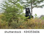 Standing Black Bear In The...