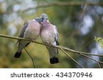 Wood pigeon (Columba palumbus) Enamored couple pigeons demonstrate their desire for each other on a tree