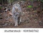 Bobcat  Lynx Rufus  Controls...