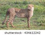 Cheetah In The Serengeti...