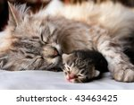 Stock photo cat and kitten hug and sleep in compassion 43463425