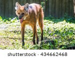 maned wolf  chysocyon... | Shutterstock . vector #434662468