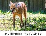 Small photo of Maned wolf (Chysocyon brachyurus)