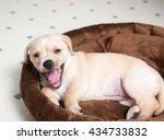 tan colored terrier puppy... | Shutterstock . vector #434733832