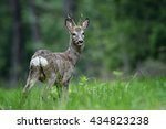 roe deer male in the natural... | Shutterstock . vector #434823238