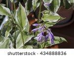 Lilac Bloom Of Hosta Flower In...