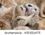 suricate or meerkat  suricata... | Shutterstock . vector #435201475