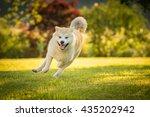 Red Akita Inu Dog Running...