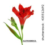 Small photo of Red alstroemeria flower, isolated on white