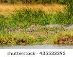 hippopotamus in uganda  africa | Shutterstock . vector #435533392