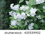 Branches Blooming Jasmine With...