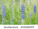 Wild Blue Lupinus Blooming In...