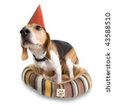 a cute beagle with a party hat on (FICTIONAL PAW PRINT LOGO) - stock photo
