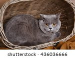 Gray Cute British Shorthair Ca...