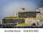llamas on machu picchu terraces ... | Shutterstock . vector #436301482