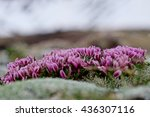 Small photo of Delicate Alpine Clover Flowers. High alpine tundra at Independence Pass near Aspen, Colorado, USA.
