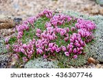 Small photo of Delicate Alpine Clover Flowers. Deer or Dwarf Clover. High alpine tundra at Independence Pass near Aspen, Colorado, USA.