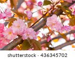 close up of the pink flowers of ... | Shutterstock . vector #436345702