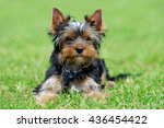 close yorkshire terrier dog in... | Shutterstock . vector #436454422