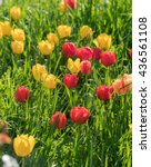 red and yellow tulips flowers... | Shutterstock . vector #436561108