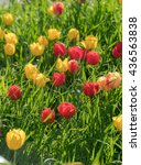 red and yellow tulips flowers... | Shutterstock . vector #436563838