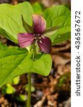 Small photo of Red Trillium flower growing in the shade of the forest floor.