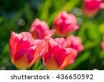 pink tulips closeup background. ... | Shutterstock . vector #436650592