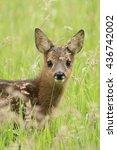 Roe Deer Fawn    Ree Kalf
