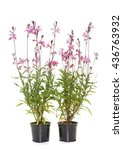 Small photo of pink gaura in front of white background