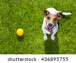 Stock photo dog in park looking up with ball ready to play with owner 436895755
