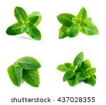 fresh green mint isolated on... | Shutterstock . vector #437028355