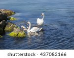 White Swans Family At Blue Sea