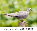 An Eurasian Collared Dove ...