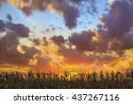 Corn Stalks In Harvest Season...