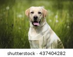 labrador dog outdoors | Shutterstock . vector #437404282